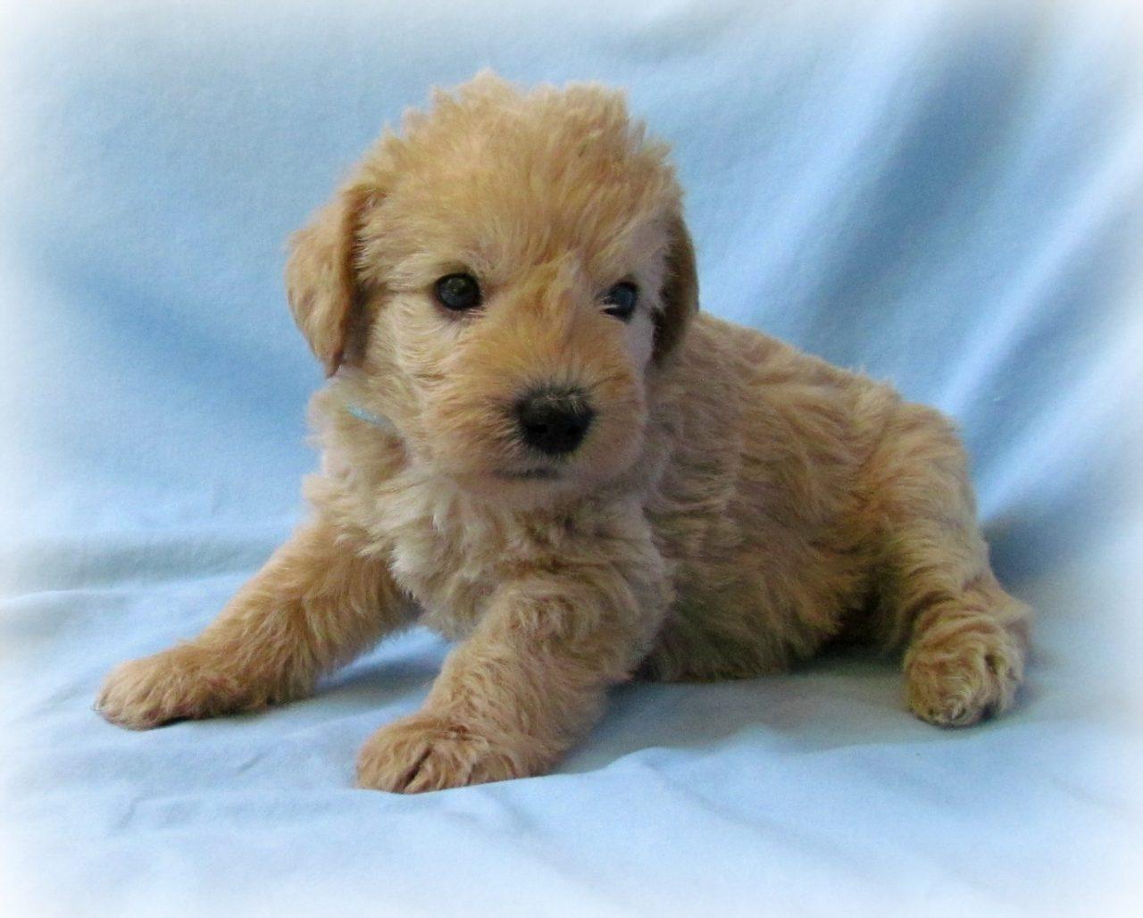 The Miniature Poodle