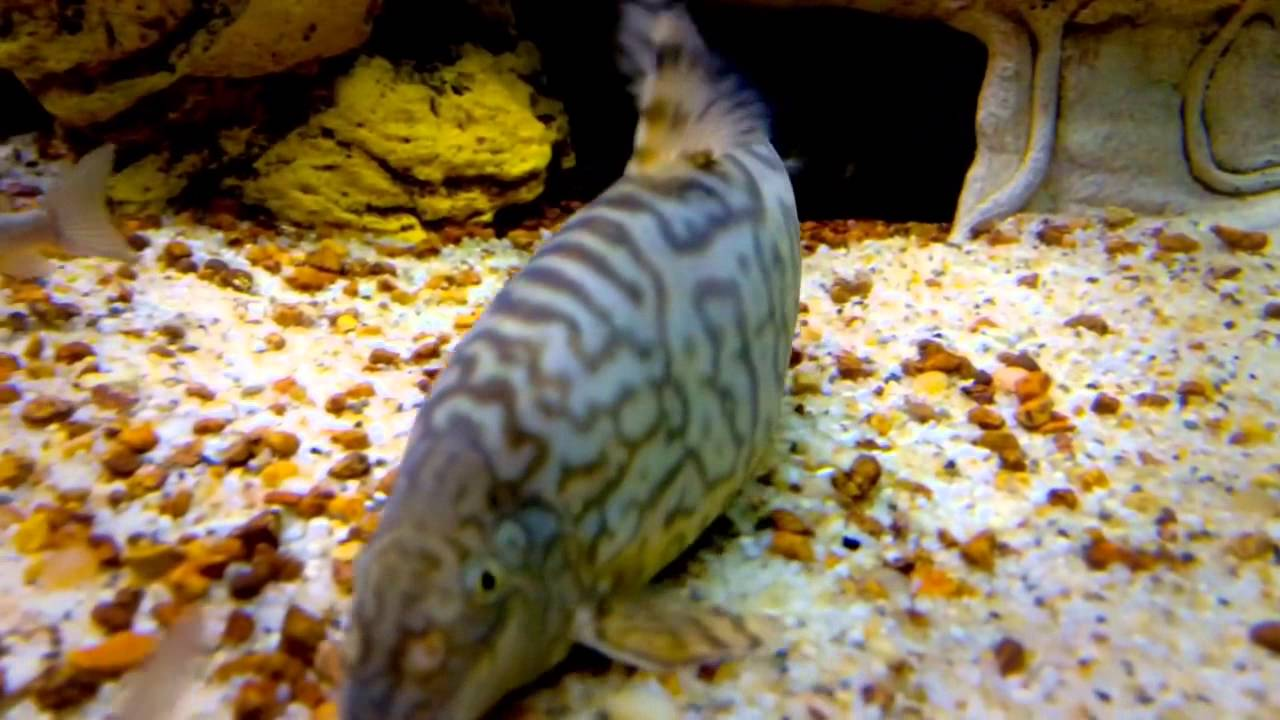 Yoyo Loaches Are Very Easy To Feed- How?