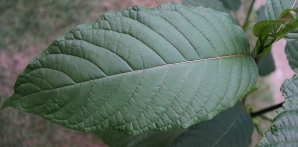Congress Asks Fda Drop Kratom – Know about the products